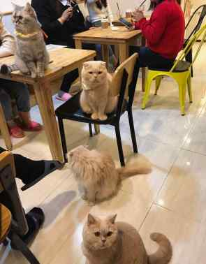 Chats-peluches coréens
