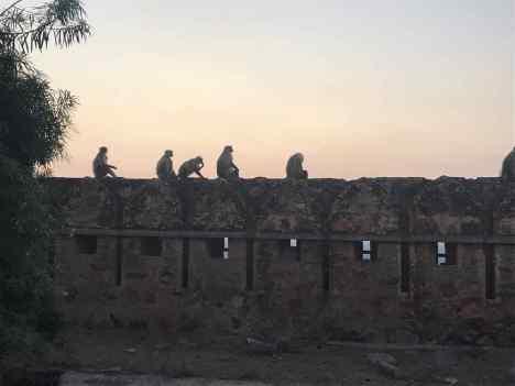 Coucher de soleil, singes sur les remparts - Chittorgarh - Rajasthan - Inde