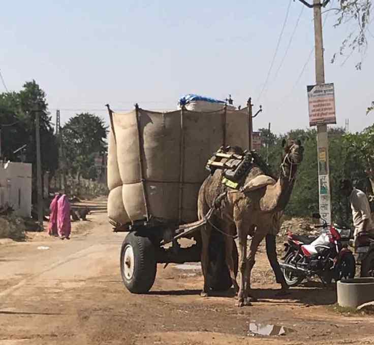 Dernier Dromadaire- Rajasthan - Inde