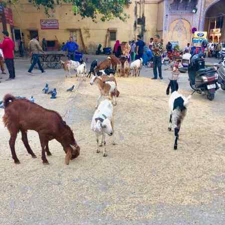 Biquettes dans la rue - Jaipur - Rajasthan