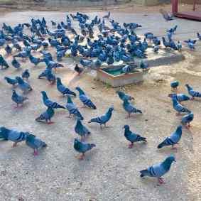 Pigeons Indiens - Jaipur - Rajasthan