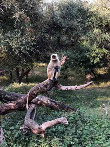 Entelle d'Hanouman - Petit singe typique du Rajasthan - Ranthambore - Inde