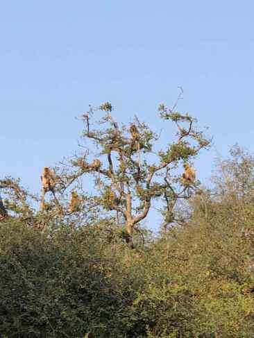 Arbre à singes - Rajasthan - Ranthambore - Inde