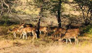 Daims- Ranthambore - Rajasthan - Inde