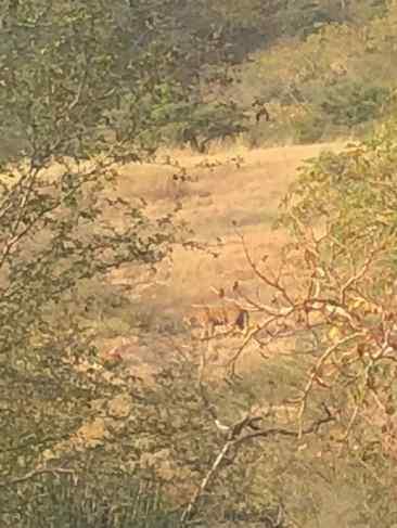 Tigre caché (nous manque un zoom)- Rajasthan - Ranthambore - Inde