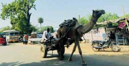 Ranthambore - Dromadaire - Rajasthan - Inde