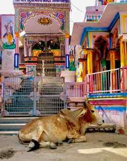 Vache sacrée devant le temple - Bundi - Rajasthan - Inde
