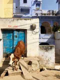 Vache sacrée dans Bundi - Rajasthan - Inde