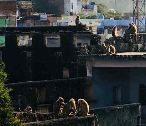 Singes sur les toits de Bundi - Rajasthan - Inde