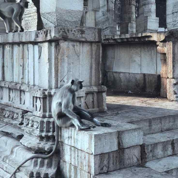 Singe dans les vieilles pierres des temples -Chittorgarh - Rajasthan - Inde