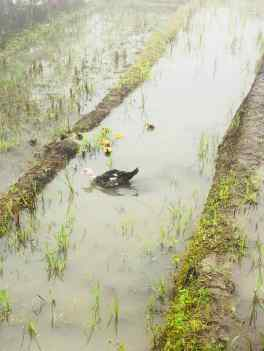 Canards dans les rizières et la brume- Région de Sapa - Vietnam
