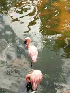 Flamants roses - Parc de Kowloon - Hong-Kong