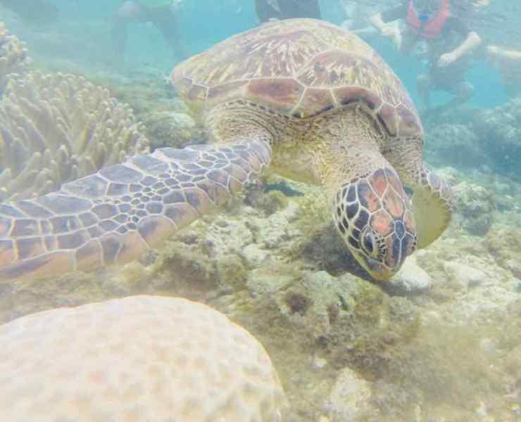 Tortue de mer - Apo Island - Philippines
