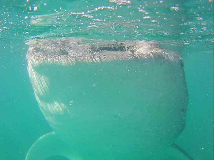 Requin Baleine - Oslob - Philippines