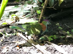 Bel oiseau australien non identifié - Zoo de Taronga - Sydney - Australie