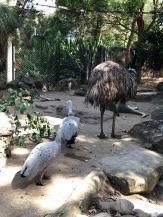 Autruche et Paons - Zoo de Taronga - Sydney - Australie