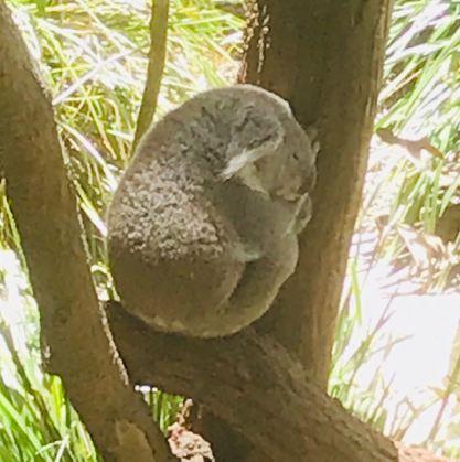 Koala ! - Zoo de Taronga - Sydney - Australie