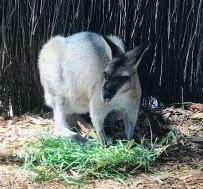 Wallaby gris - Sydney - Australie
