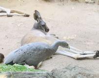 Wallaby gris fatigué et oiseau inconnu - Sydney - Australie