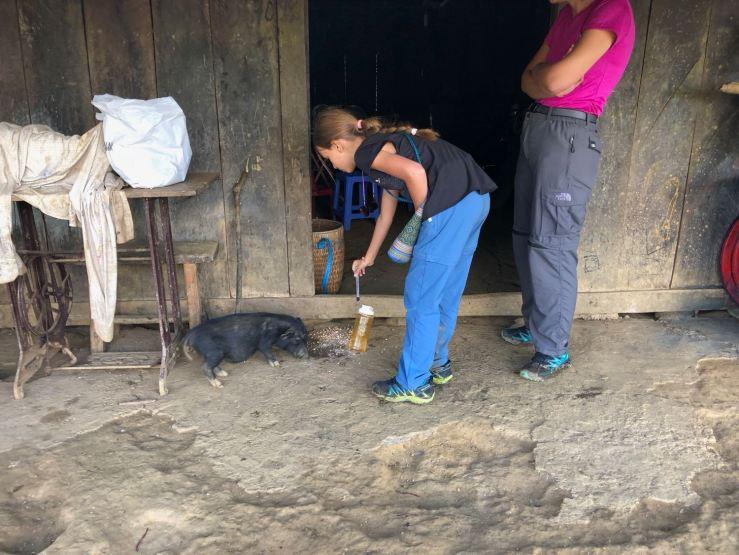 Le petit cochon mange la nourriture des poules chez les Hmongs - Sapa - Vietnam