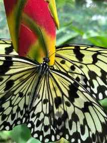Jolis papillons - Siquijor - Philippines
