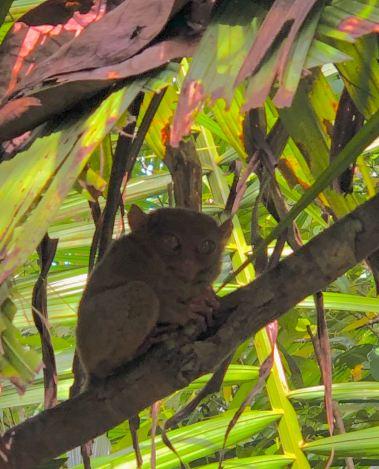 Petit tarsier trop mignon ! - Bohol - Philippines