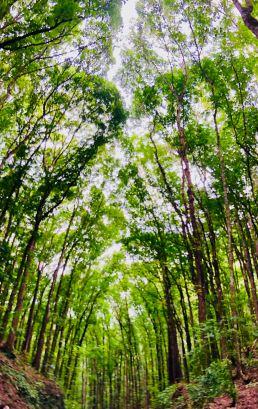Forêt de Bihar - Bohol - Philippines