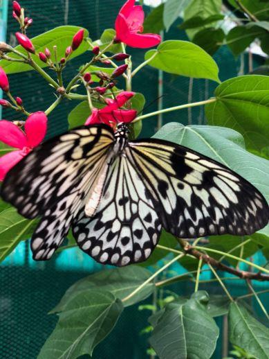 Papillon endémique - Bohol - Philippines