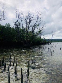 Mangrove - Pangangan Island - Bohol - Philippines