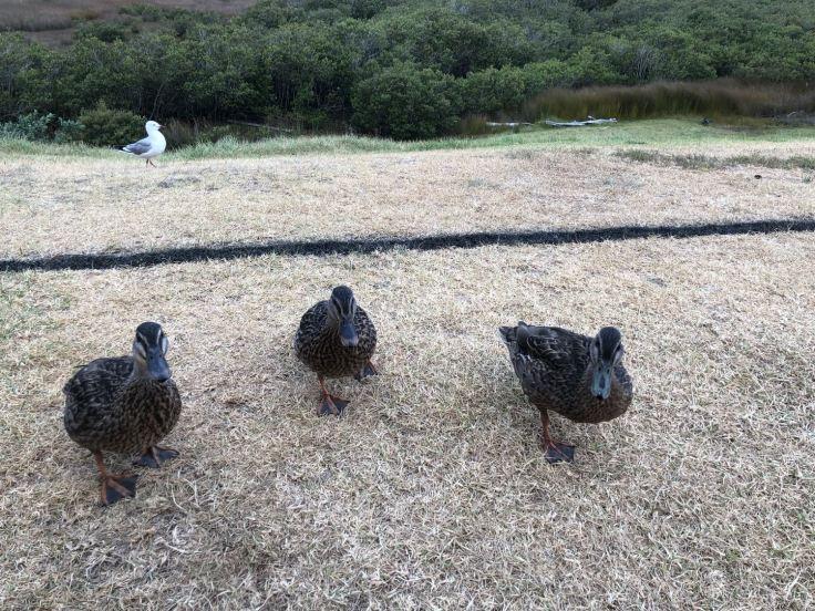 Les canards essaient de chiper dans nos assiettes ! Diner à Ruakaka Beach, vue de notre van - Northland - Nouvelle Zélande