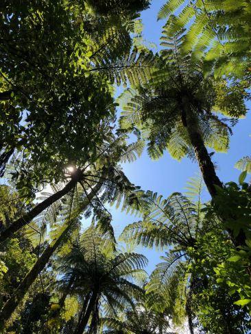 On ne voit rien ! On est perdus dans les fougères arborescentes - Coromandel - Nouvelle Zélande