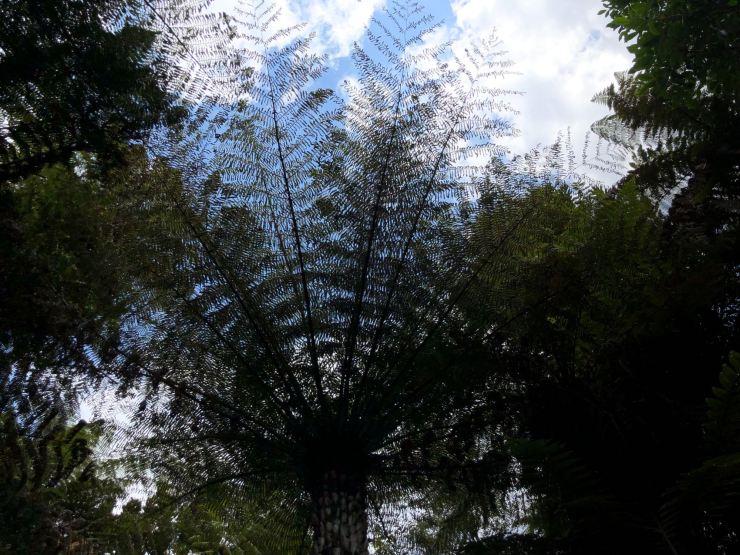 Fougère Arborescente -Whanganui River - Nouvelle-Zélande