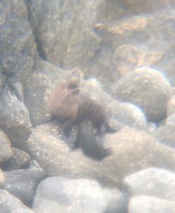 Bébé phoque et sa mère pris à travers les jumelles d'Eden - Environs de Westport - Nouvelle-Zélande