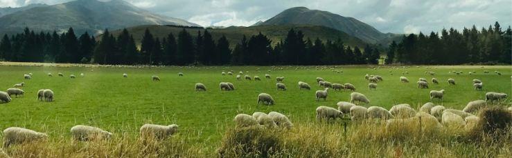 Champ de moutons ! - Banks Peninsula - Nouvelle-Zélande