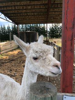 Et même un lama - Nouvelle-Zélande