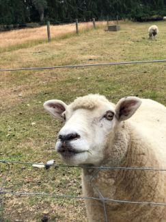 Et un mouton..- Nouvelle-Zélande