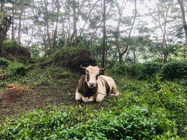 Tranquille la vache - Hiva Oa - Iles Marquises - Polynésie