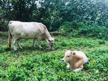 Vache et son veau en bord de route - Hiva Oa - Iles Marquises - Polynésie