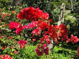 Luxuriance de la Vallée d'Hakaui - Bougainvillier - Nuku Hiva - Iles Marquises - Polynésie