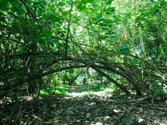 Allée royale envahie par les bambous - Vallée d'Hakaui - Nuku Hiva - Iles Marquises - Polynésie