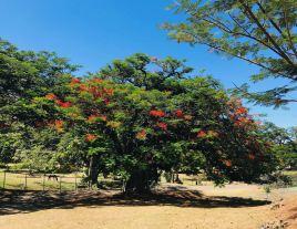 Arbre Marquisien - Vallée d'Hakaui - Nuku Hiva - Iles Marquises - Polynésie