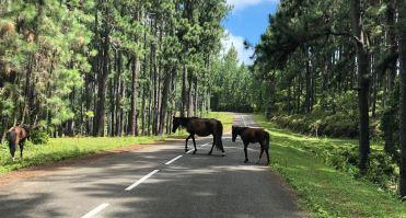 Chevaux sauvages sur la chaussée - Sur la route - Nuku Hiva - Iles Marquises - Polynésie