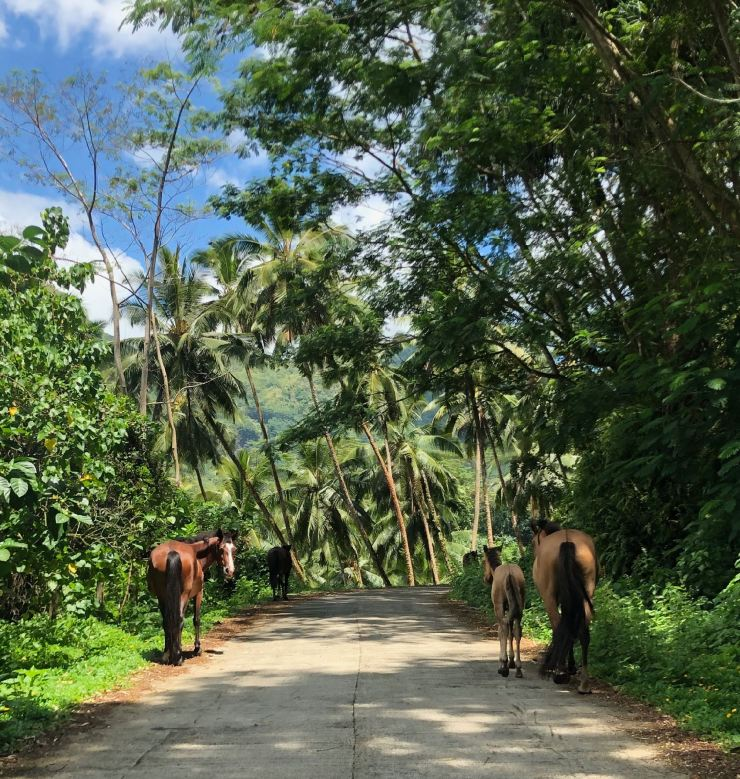 Chevaux sauvages - Nuku Hiva - Iles Marquises - Polynésie