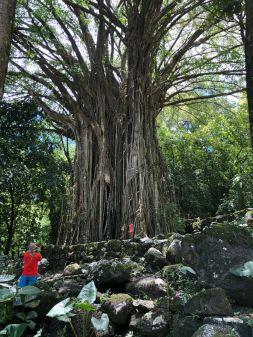 Banian sacré sur le site archéologiques en amont d' Hitaheu - Nuku Hiva - Iles Marquises - Polynésie
