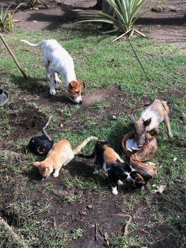 Les cochons, les chiens et les chats partagent le lait de coco - vallée d'Hakaui - Nuku Hiva - Iles Marquises - Polynésie