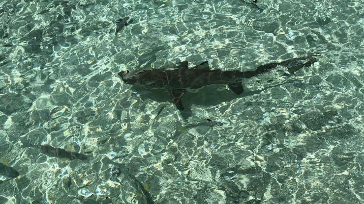 Requin à pointe noire ! - Lagoonarium - Moorea - Polynésie