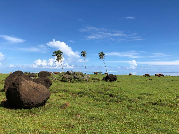 Pré aux vaches version Polynésienne - Raiatea - Polynésie