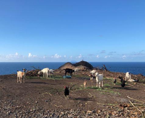 Chèvres face à la mer - Hiva Oa- Iles Marquises - Polynésie