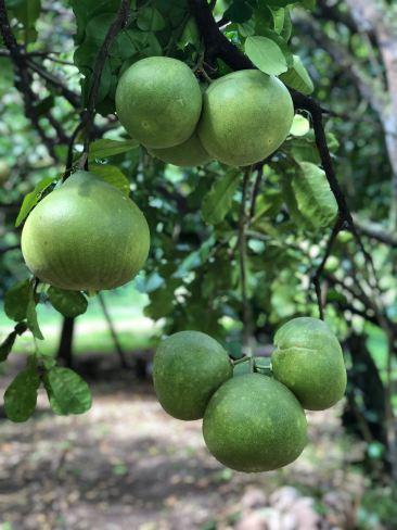 Pamplemousses délicieux des Marquises - Vallée d'Hakaoui - Nuku Hiva - Iles Marquises - Polynésie