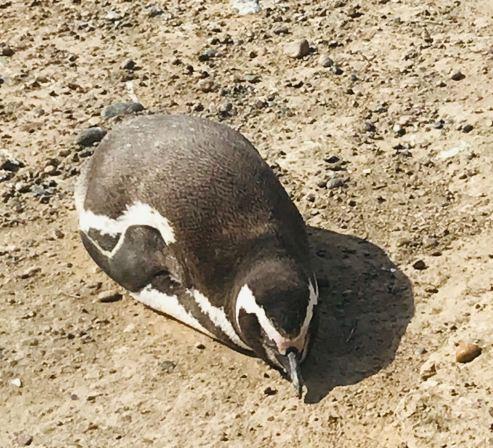 Little pinguin ! - Peninsule Valdes - Argentine